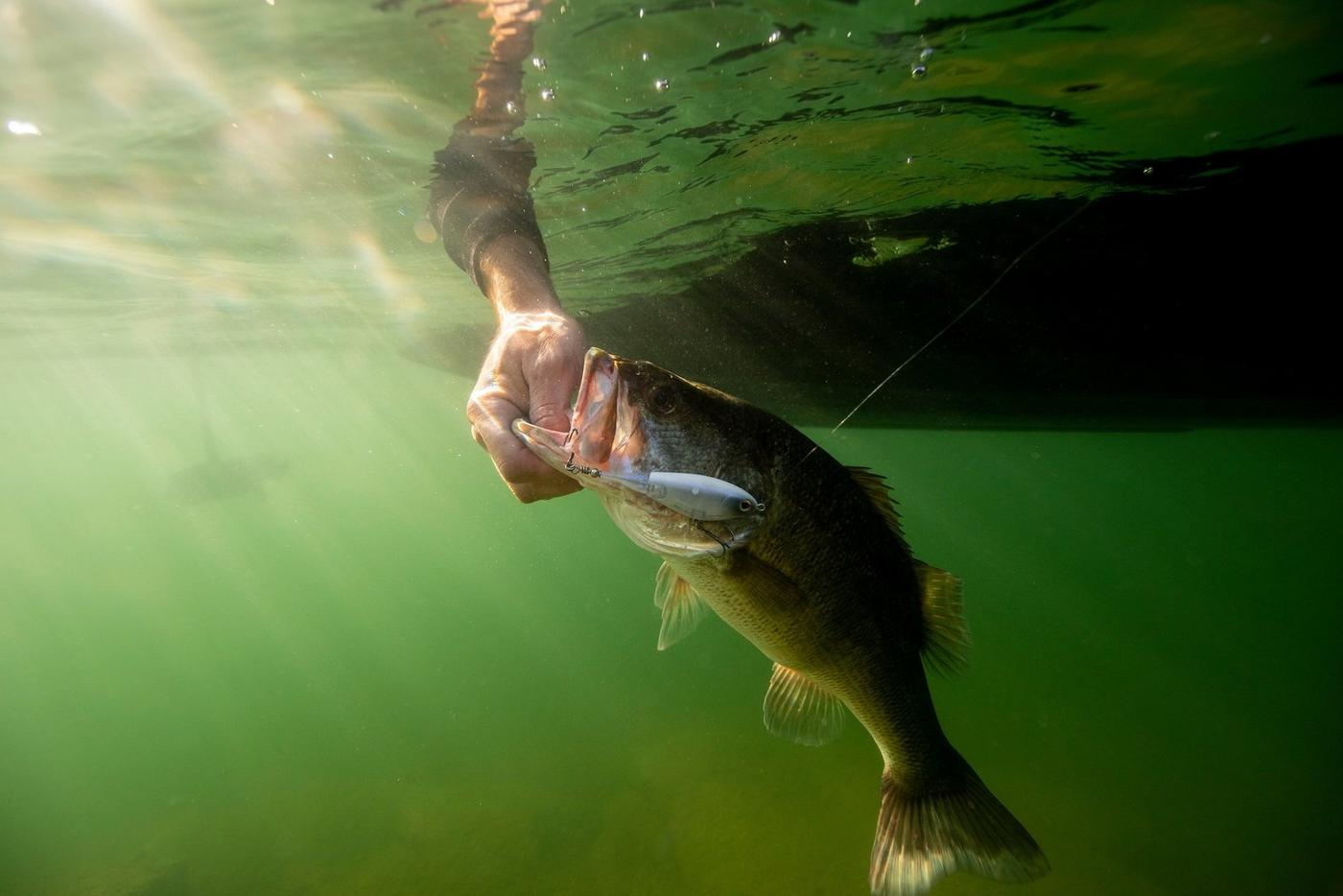 Underwater shot of largemouth bass being pulled out of lake