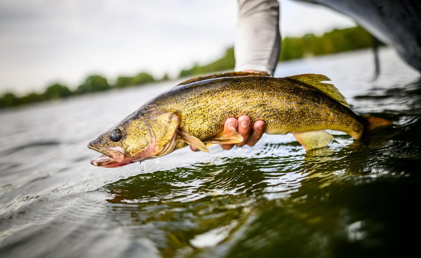 Walleye being held above water