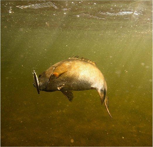 Fish underwater biting on lure