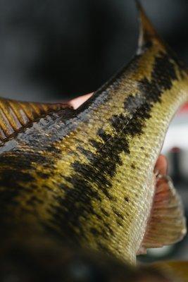 Bass fin